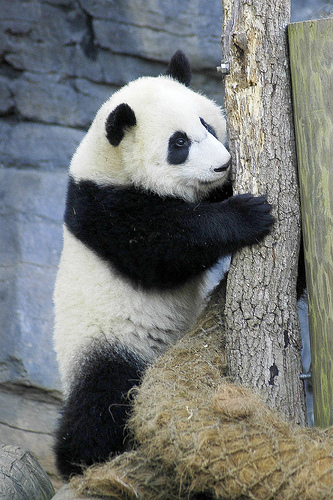 A panda hugging a tree.